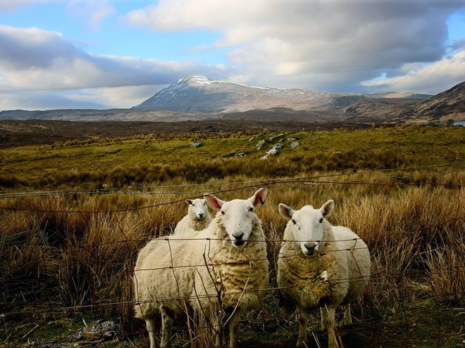 ScottishSheep